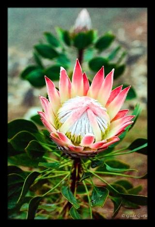 Protea, Eastern Highlands, Manicaland, Zimbabwe