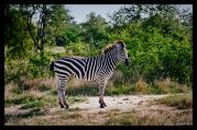 Zebra in Hwange National Park, Zimbabwe