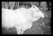 """A Cow Called """"Mission"""" in Zimbabwe"""