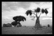 Baobab Tree, Rural Area, Manicaland, Zimbabwe