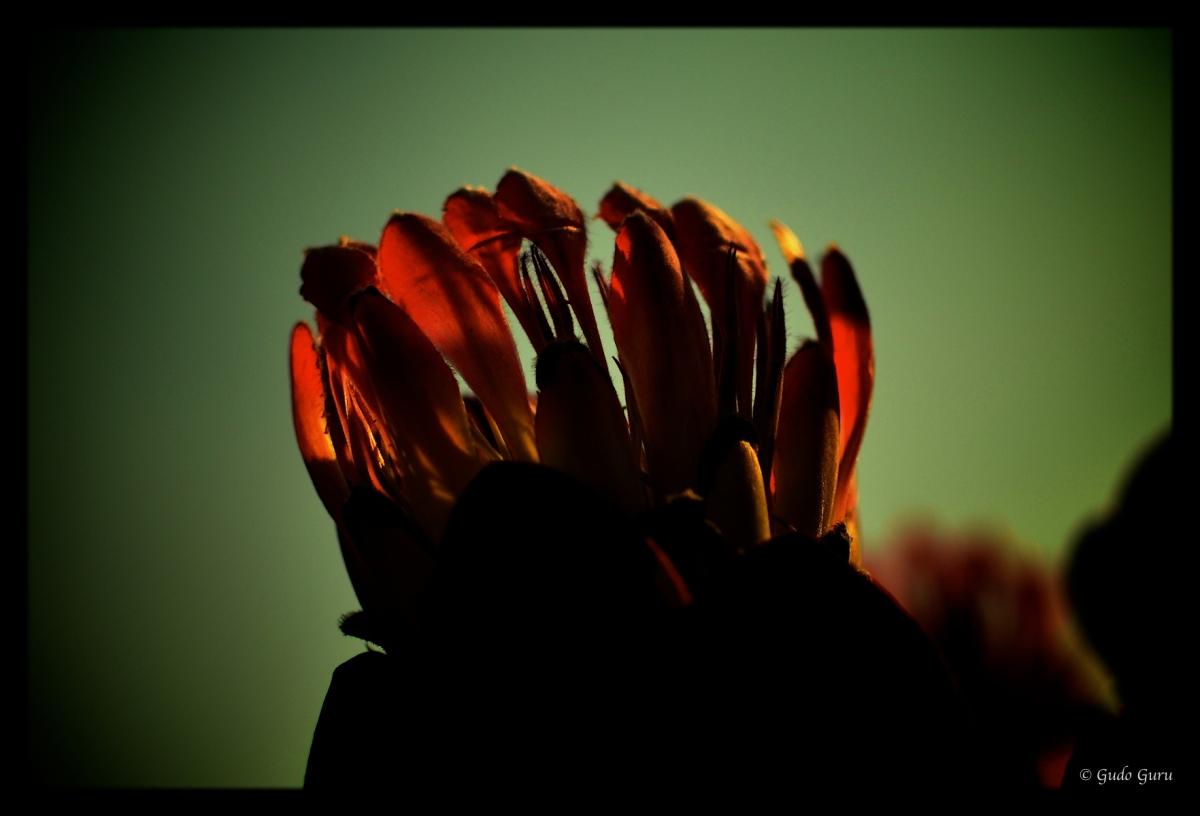 Protea at World's View, Nyanga, Manicaland, Zimbabwe