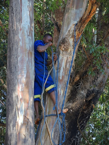 Tendai making rope holds in gum tree