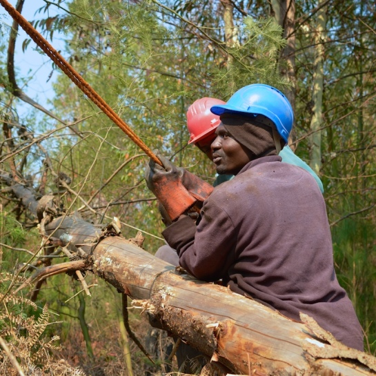 Preparing the winch line for the next tree