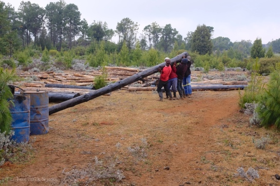 lifting and moving the pine poles