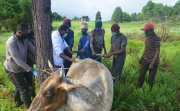 Pulling a dead unborncalf